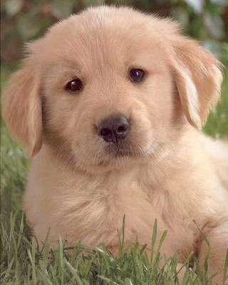 Golden Retriever Puppies for Sale offer various breeders information on