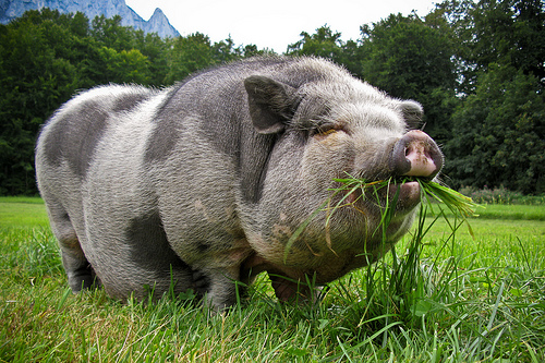 adult pot belly pig