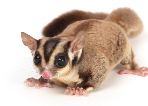 Can Sugar Gliders Eat Guinea Pig Food