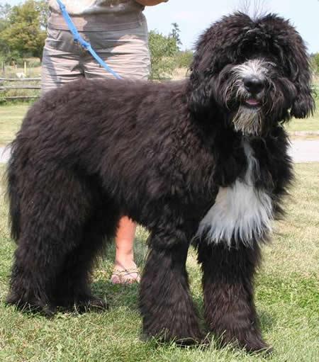 Bernese Poodle
