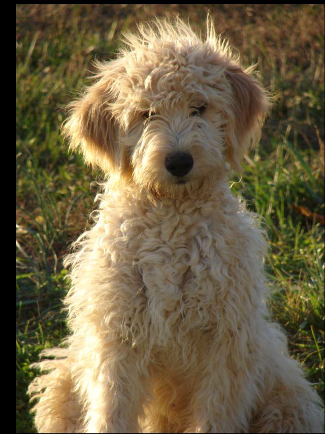 shepadoodle | Puppy - Bunny - Guinea - Pretty