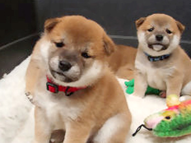 Shiba  Puppies on Do You Guys Remember The Adorable Shiba Inu Puppy Cam
